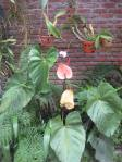 Giant Anthurium outside our room