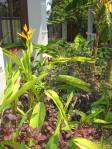 Heliconia psittacorum in Hoi An