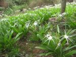 Amaryllidaceae - crinum asiaticum, by Elephant Falls in Dalat