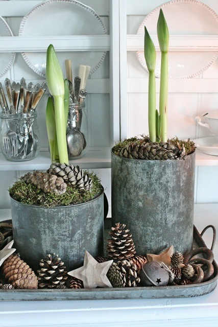 White Amaryllis bulbs planted in large tin buckets topped with moss and pine cones, set on a metal tray filled with cones and wooden stars