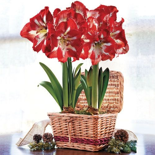 Red and white striped Amaryllis planted in a pretty wicker hamper